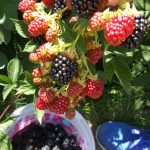 The backyard blackberries keep giving and giving!!