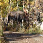 Moose on the loose at Pingree